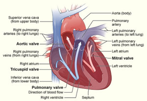 Cardiologist Treating Heart Valve Disease