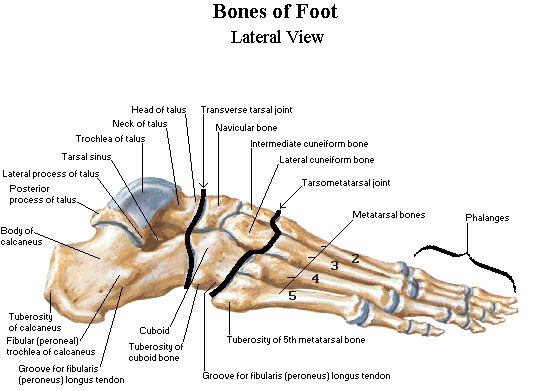 bones-of-the-foot Podiatrist